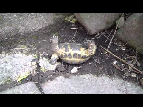 Toto the Turtle flips back on its feet