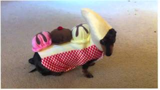 Our Dachshund Trying Out Costumes.