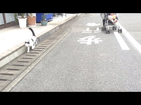 A cat Kabosu who met a baby walking in a stroller. ベビーカーの赤ちゃんと出会った牛柄猫のカボス