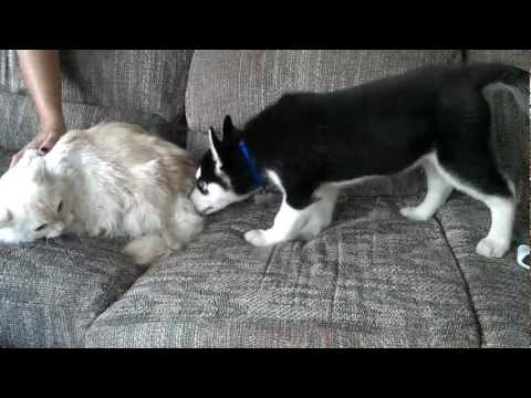 Cat has a hissy fit over Puppy