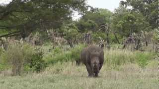 Rhino Walking at Kruger National Park