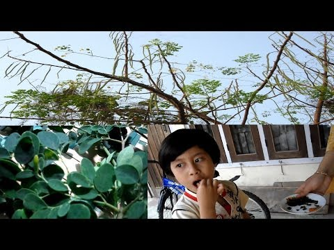 """Moringa-""""The tree of Life""""-Most Nutrient packed plant ever discovered"""
