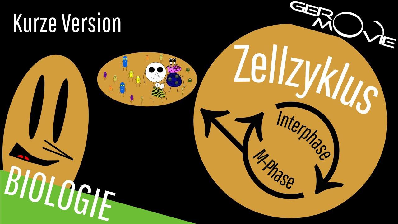 ▻ Zellzyklus und Zellteilung - verständlich erklärt | Kurze Version ...