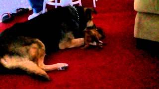 Mini Dachshund Puppy Vs German Shepherd