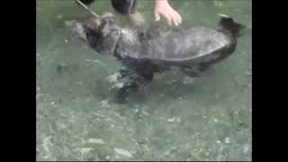 2008年の夏、初めて川に泳ぎに行った秋田犬のリキ。どうしても犬カキが...