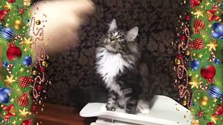ЛИРИКУМ Жириновский 3,5 месяца - крупный котенок мейн-кун на весах