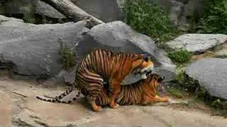 Tigers making love