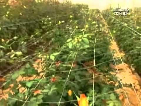 Розы украины купить семена с доставкой почтой по всей украине. Каталог. Привлекательные пышные кусты, средней высотой в 2 метра, эффектно.