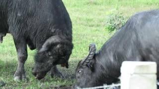 Wrestling water buffalo in Guinea Grass Village, Belize