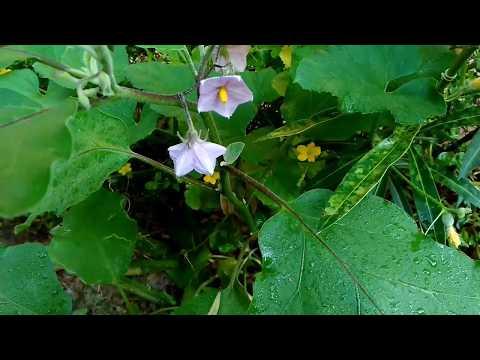 GROW🌱अपने BRINJAL🍆 बैंगन उगाओKitchen Gardening ideasEvergreen vegetables growing method in pots