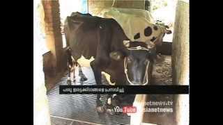 Cow giving birth to twins  in idukki: Chuttuvattom News