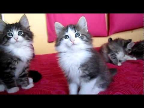 VIBRISS' Norwegian Forest Cats : Kittens, 7 weeks