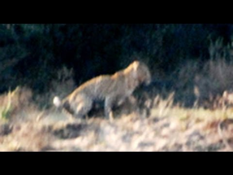 Mating Leopards From Skukuza Camp - 3 July 2012 - Latest Sightings