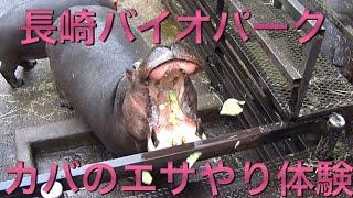 長崎バイオパークの土日祝日限定イベント、カバのエサやり体験です 100...