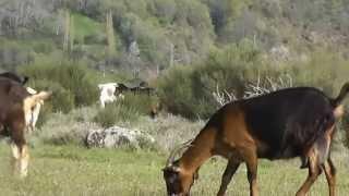 Mi película Cabras en el corral los lobos