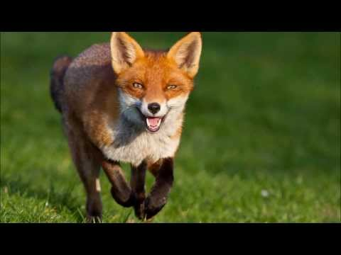 What does the Fox Say - Creative Campaign