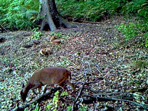 foxes and muntjac.ASF