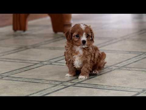 Cavapoo Puppies   FunnyCat TV
