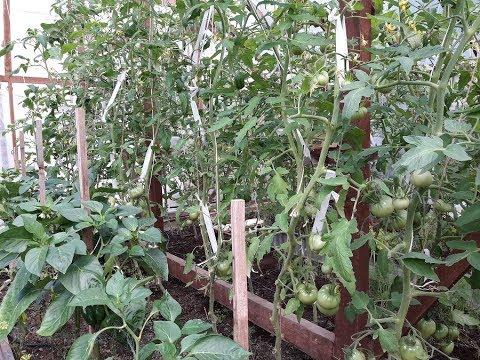Как я подвязываю кисти томатов/21 июня,как перцы переживают  холод, есть проблемы