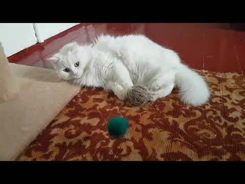 Turkish Angora cat is playing with yarn balls