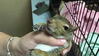 Graphic!!! Ghost limb syndrome squirrel has gotten worse and opted for euthanasia