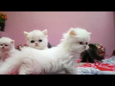 Playing kittens playing white persian cats