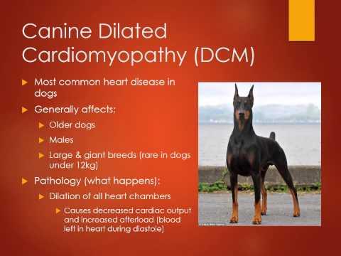MBC Vet Tech Online Review 6.1 - Cardiovascular Diseases