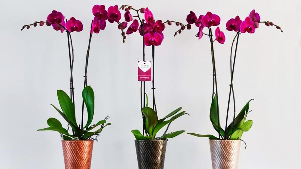 орхидея фаленопсис размножение