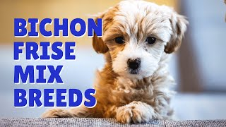 7 Pros And Cons Of A Bichon Frise Mix Breed