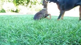 Doberman Rottweiler Pumbles Red Dobie. Lol