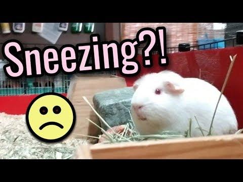 My Guinea Pig Sneezes, Is It Okay?