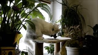 Ангорский кот