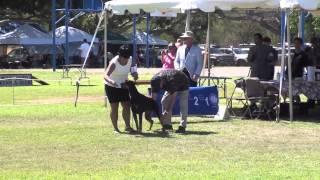 08-17-13 West Oahu Kennel Club Doberman Pinschers