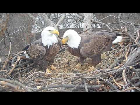 EAGLE CAM 2017 - Liberty & Justice prepare their nest to lay eggs! - ECC, MPDC - Washington, DC