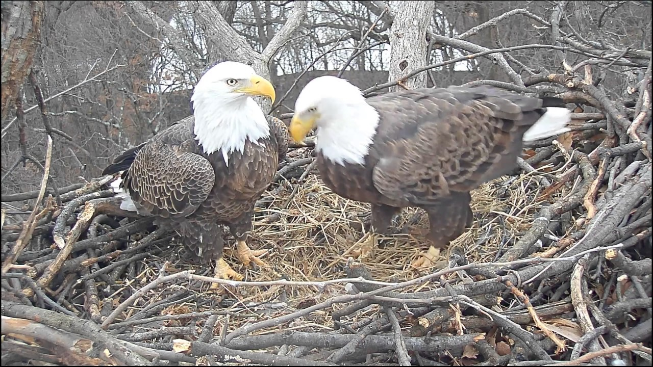 EAGLE CAM 2017 - Liberty & Justice prepare their nest to ...