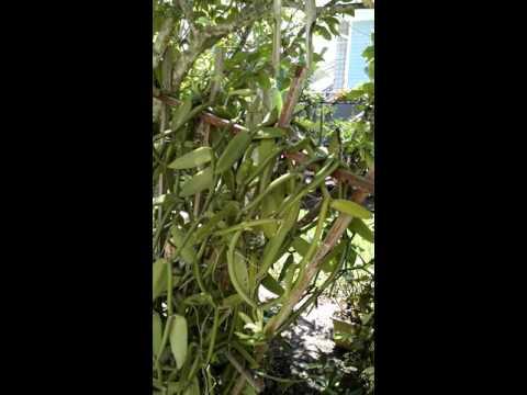 Vanilla orchid pollination day