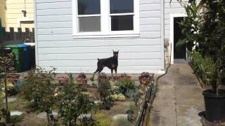 Tiger Barking In The Backyard Doberman Pinscher