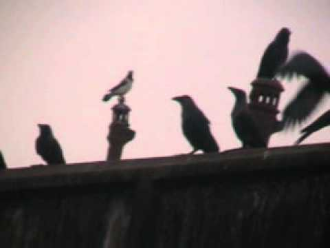 The Conference of Crow.