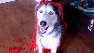 Dog acts like a Cat: Mishka the Talking Husky