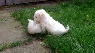 Maltese Terrier Pups For Sale. Ready From 27/08/13. Southport Uk Can Deliver. Tim 07989640918