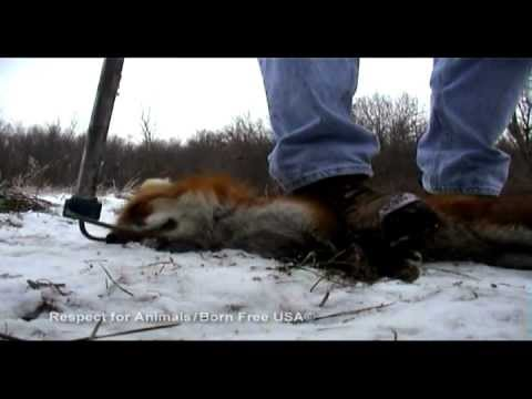 Victims of Vanity: An Investigation into Fur Trapping in the United States