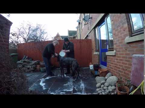 Scottish Deerhound Bath
