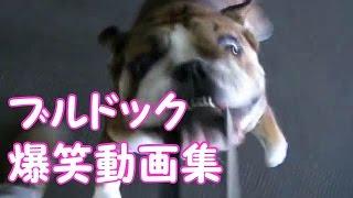 【関連動画】 【犬おもしろ】『おもしろ可愛いブルドックばかり集めた動...