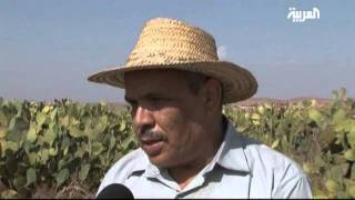 Cactus Farming in Morocco