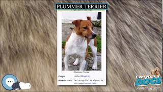 Plummer Terrier  Everything Dog Breeds
