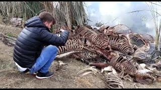 Gölette yüzlerce at ve eşek kafası ile kemikleri bulundu