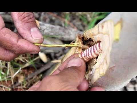 Hunting for, and eating, a witchetty grub