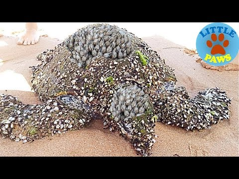 Rescue Sea Turtles, Removing Barnacles from Poor Sea Turtles Compilation