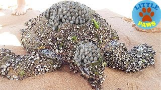 Rescue Sea Turtles, Removing Barnacles from Poor Sea Turtles Compilation thumbnail