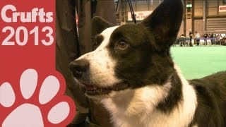 Welsh Corgi (cardigan) - Best Of Breed - Crufts 2013